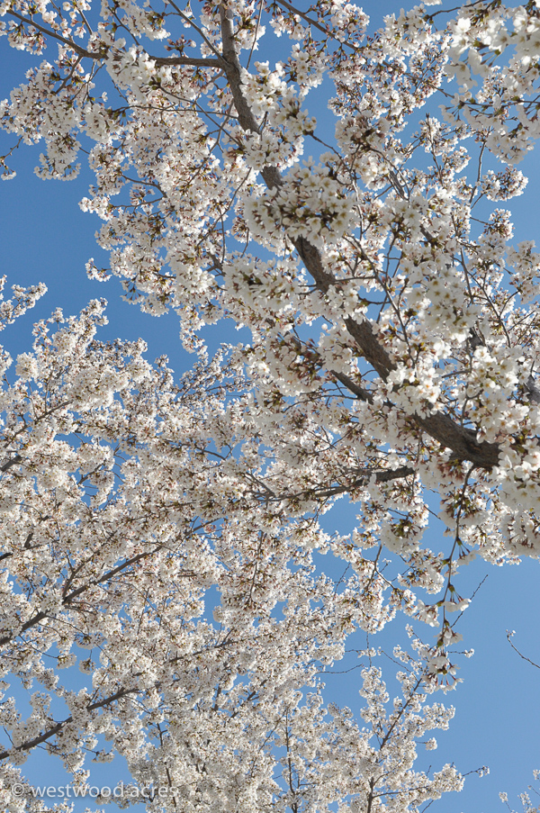 Cherry Blossoms at the Utah State Capitol